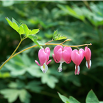 Pink Bleeding Heart Blossoms